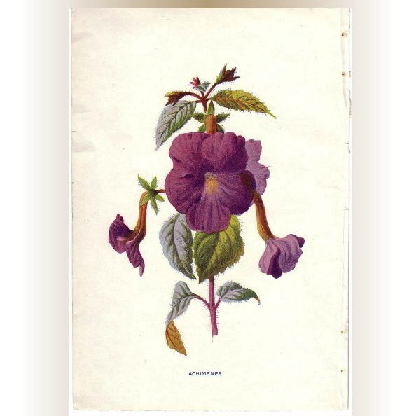 Lovely Botanical Print from an Antique Natural History Book