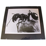 """Vintage Macro Photograph, Otha Spencer, """"Ant on Pussy"""""""