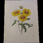 Lovely Vintage Botanical Print GALARDIA P.J. Redoute'