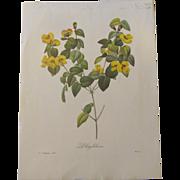 Lovely Vintage Botanical Print PLATYLOBIUM P.J. Redoute'