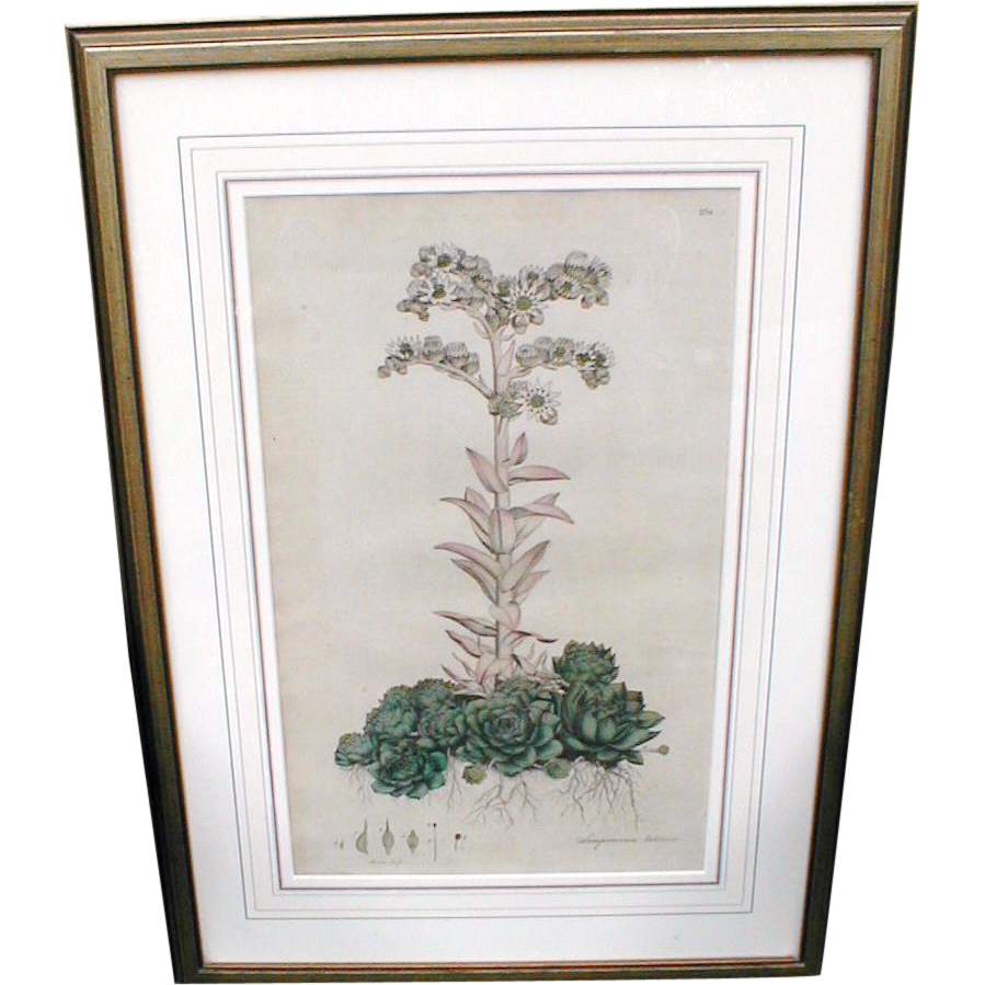 Lovely Framed w/ Glass Antique Botanical Print, SEMPERVIUM TECTORUM