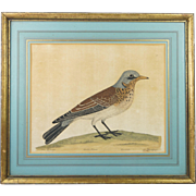 Rare 18th Century Hand Colored Bird Print Fieldfare by Eleazar Albin From Natural History of Birds Circa 1731