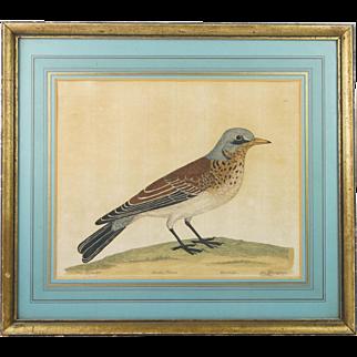Rare 18th Century Ornithological Engraving Fieldfare Eleazar Albin Natural History of Birds Circa 1731