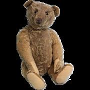 16 inch Antique Steiff Teddy Bear F underscored Button, Shoe Button Eyes 1906-1908