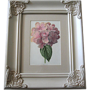 Antique Hydrangea Print Edward Hulme Chromo