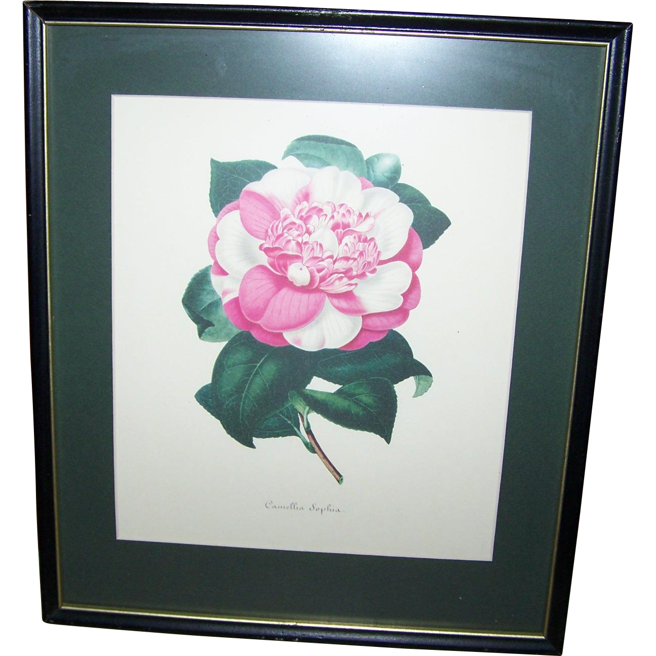 A Vintage Botanical Framed Print Lovely Wall Art Camellia Sophia
