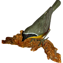 Carved Yellowthroat Songbird