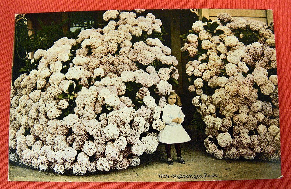 Vintage Postcard - Little Girl And A Huge Hydrangea Bush - Unused Sold On Ruby Lane-2292