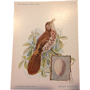 The American Singers Series No 13 Brown Thrasher